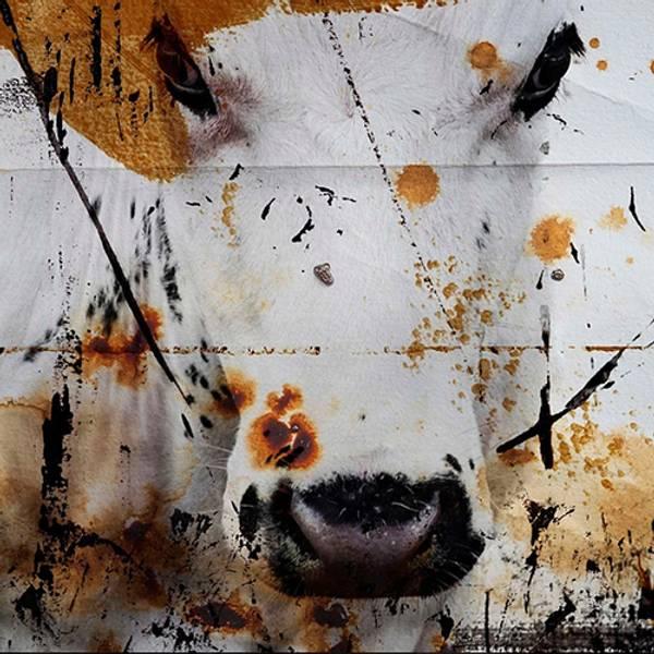 Bilde av Cow 20 x 20 cm Nr 12        -